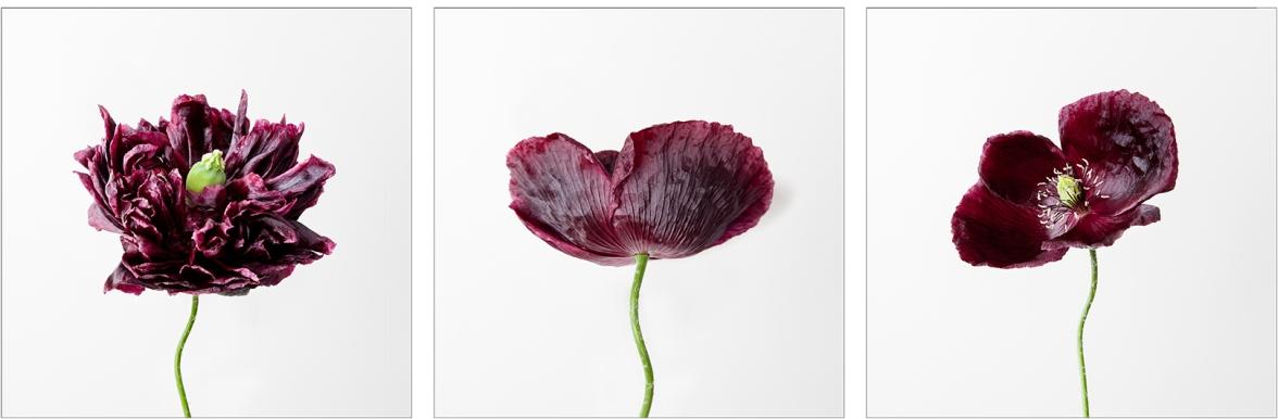 Proposal Poppy Photographs
